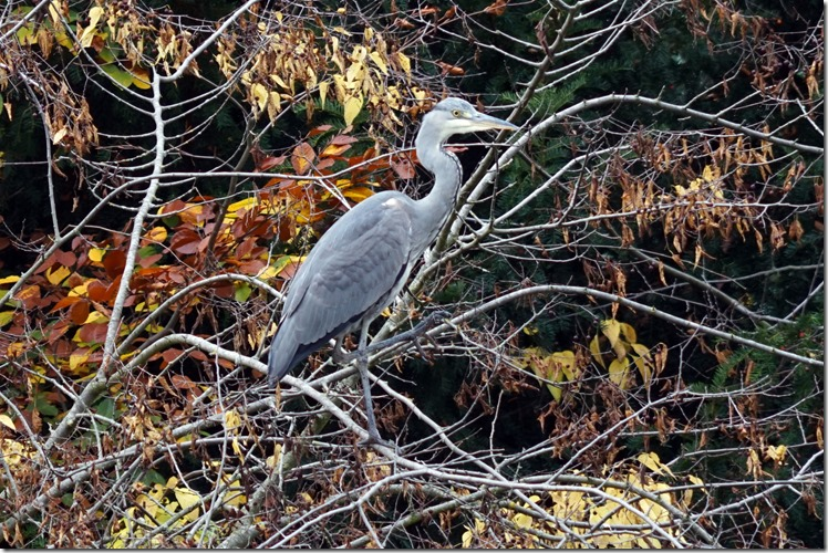 paris blue heron at bois de boulogne 110715 00000