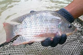 Alasan Mengapa Memilih Budidaya Ikan Nila
