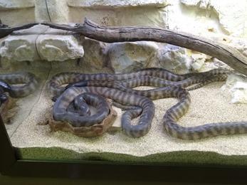 2017.08.07-012 python à tête noire