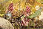 BEAU GOSSE  Grenouille rousse et fleurs de pétasites sont les premiers à investir la mare au printemps !