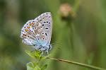 Almindelig blåfugl, icarus.jpg
