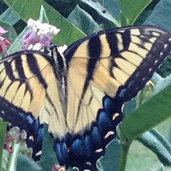 PLC Gardens & Visitors - Monarch%2BButterfly.JPG