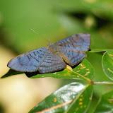 Riodinidae : Emesis lucinda CRAMER, 1775, mâle. Amazone Nature Lodge, Montagne de Kaw (Guyane). 18 novembre 2011. Photo : J.-M. Gayman