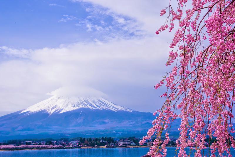 河口湖 長崎公園 桜 写真4