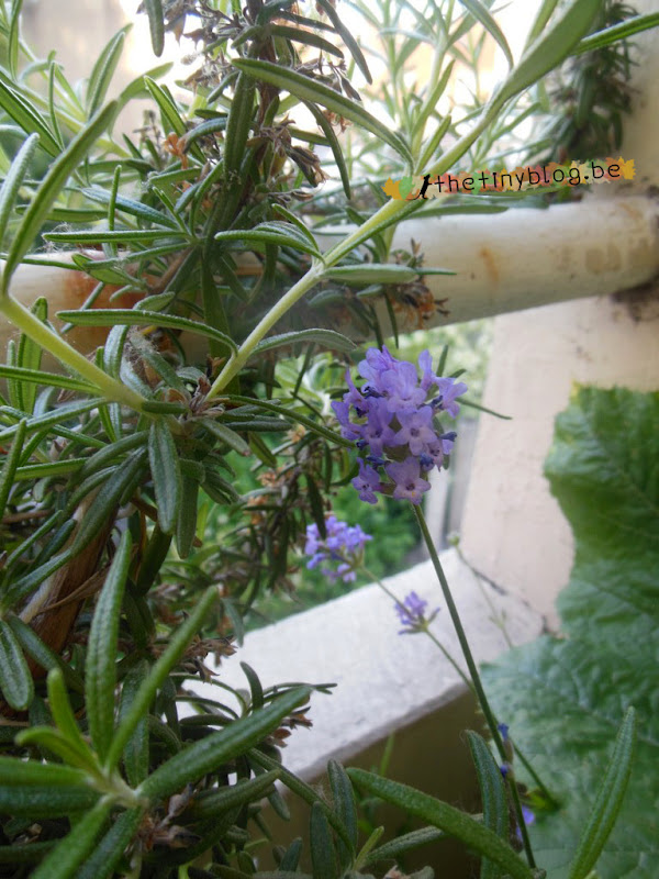 My balcony urban vegetable garden June 2015 in Brussels Rosemary and Lavender