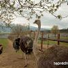 фермата за Щрауси в Долна Баня с Елмира