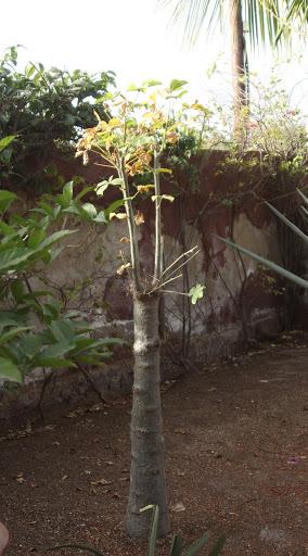 ADANSONIA DIGITATA ( BAOBAB) IMG_7320