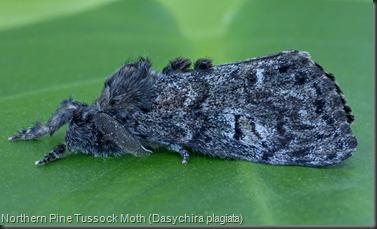 8304 Northern Pine Tussock Moth (Dasychira plagiata) (1)