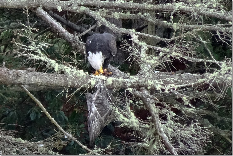 lopez eagle eating something 092017 00001