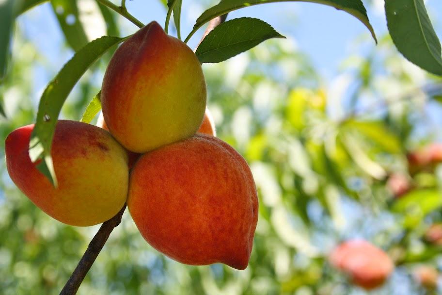 UF Sun Peaches - Florida Peaches