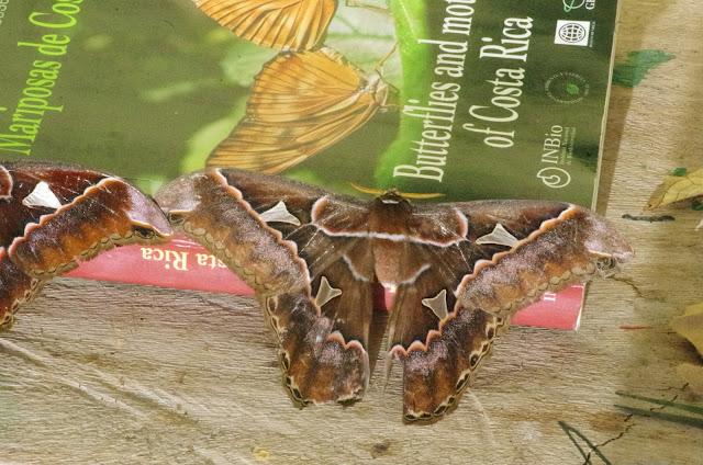 Saturniinae : Rothschildia orizaba orizaba (Westwood, 1853) ou R. fabiani Brechlin & Meister, 2012, mâle [centre] ; à gauche : R. silkae Brechlin & Meister, 2012, mâle. Mount Totumas, 1900 m (Chiriqui, Panamá), 21 octobre 2014. Photo : J.-M. Gayman
