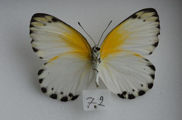 Appias sylvia sylvia (FABRICIUS, 1775), femelle, verso. Ebogo (Cameroun), avril 2013. Coll. et photo : C. Basset