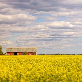 Farmers Land by Sergei Pitkevich - Landscapes Prairies, Meadows & Fields ( field, clouds, farm, barn, trees, flowers )