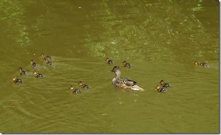 10 - 13 duckilings
