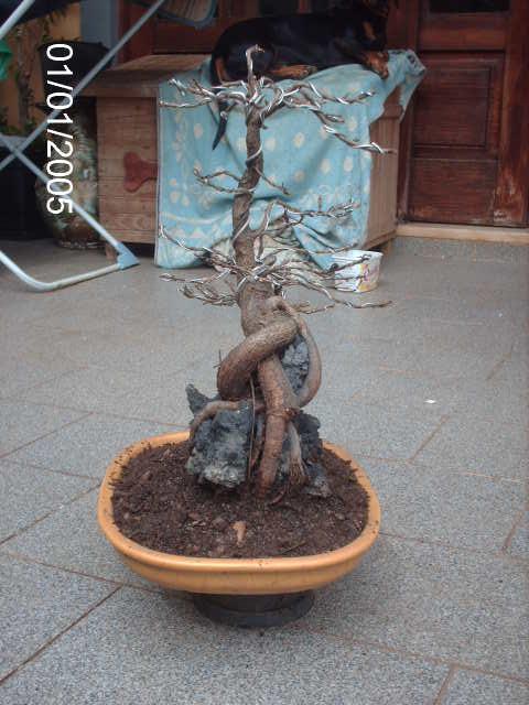 Ficus Nerifolia, Uma raiz de 3 anos... PICT1070