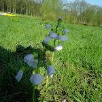 008-De Pinksterbloemen staan in bloei.