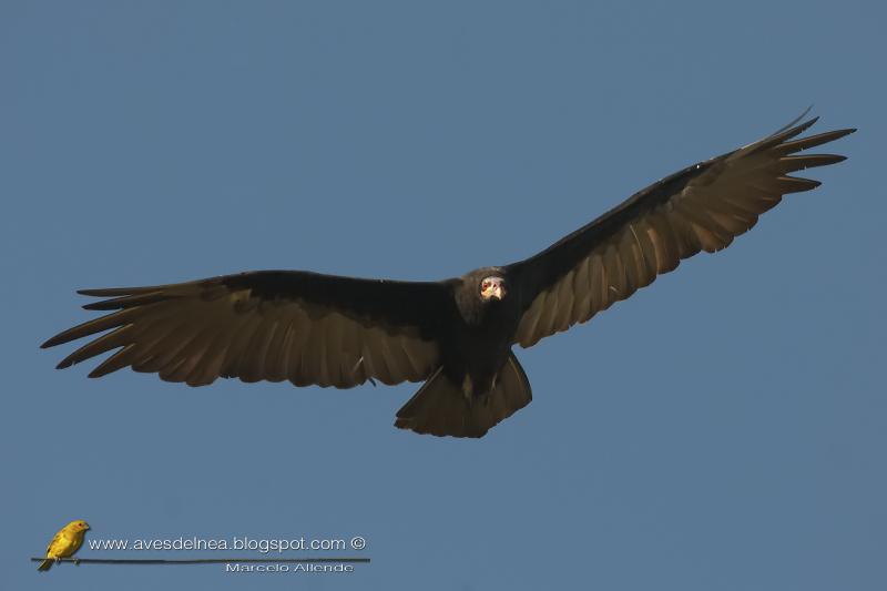 Jote cabeza amarilla (Lesser yellow-headed Vulture)