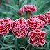 Hoa cẩm chướng tiếng Anh là gì?