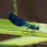 Блестящая красотка (Calopteryx splendens)