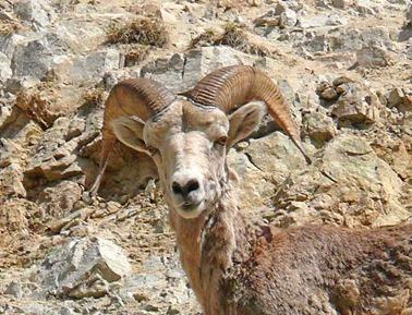 Bighorn Sheep3