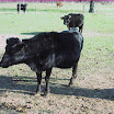koeien 007.jpg