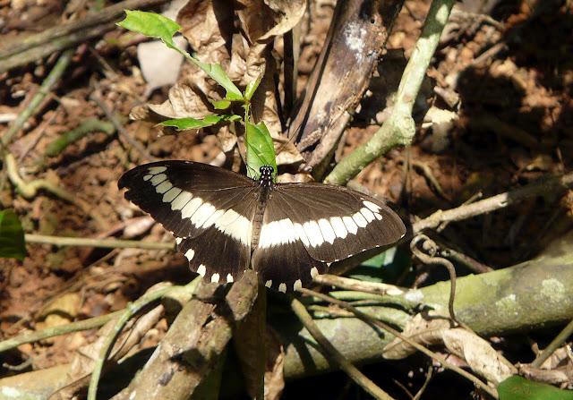 Papilio cyproeofila BUTLER, 1868, mâle. Atewa Hills (Ghana), 28 décembre 2009. Photo : J. F. Christensen