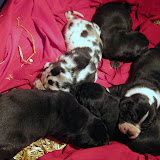 Star's litter @ 2 weeks