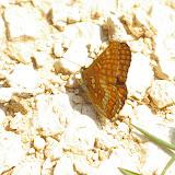 Euphydryas maturna LINNAEUS, 1758, mâle. Combe de l'Air, Forêt de Châtillon (Côte-d'or), juin 2006. Photo : J.-M. Gayman