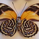 Agrias pericles mauensis FASSL, 1921, femelle, verso. Spécimen aberrant capturé en 1969 à Rio Maues (Brésil). Photo : O. Pequin
