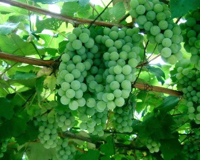Grosir Telur Sayap Mandiri: Rahasia membuat pohon anggur