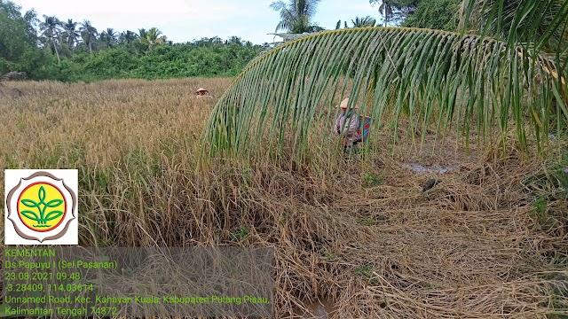 Petani Kahayan Kuala Butuh Bantuan Thresher untuk menunjang Panen Padi Kawasan Food Estate