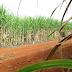 Rede de universidades federais lança 21 variedades de cana-de-açúcar