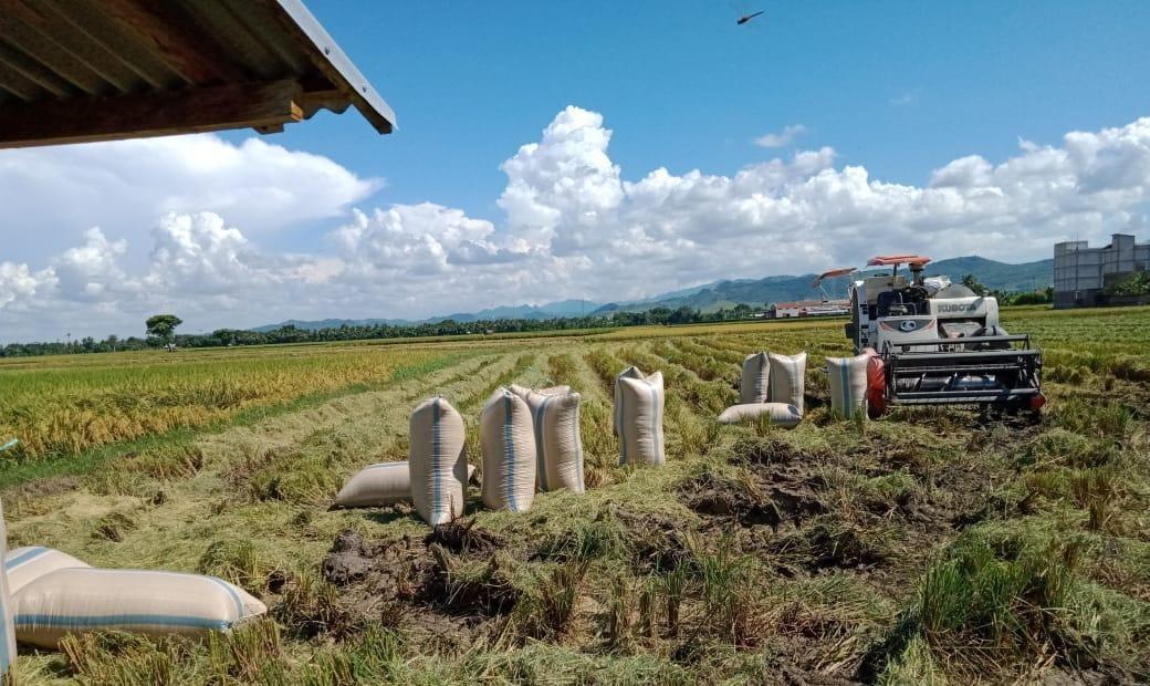 Penyuluh dan Petani di Sidrap Amankan Stok Pangan Ditengah Pandemi Covid 19