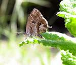 Cacyreus marshalli4.jpg