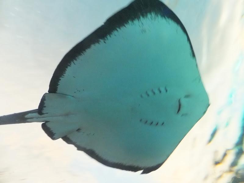 Raie, Rays, Ripley Aquarium, Toronto, Canada, elisaorigami, travel, blogger, voyages, lifestyle