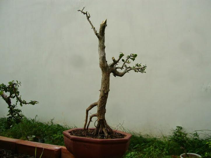 sam núi, me rừng, sơn liễu hàng lạ đẹp - Nam bonsai kính mời