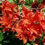 Maison de Chateaubriand : rhododendron