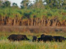 wild_boar_3L.jpg