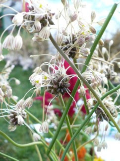 Czosnek zielonawy Allium oleraceum
