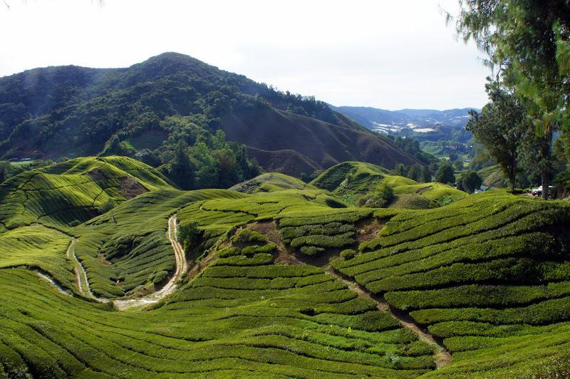 Früh morgens geht es durch Teeplantagen zum Gipfel