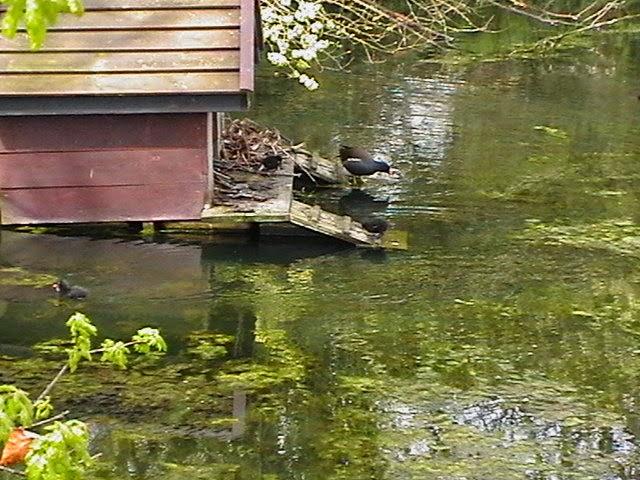 Moorhens on the Pond April 2008 - IMGA3960.jpg