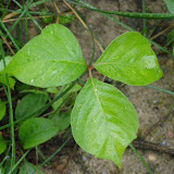 Poison Ivy (note asymmetrical leaflets and long stem on middle leaflet)