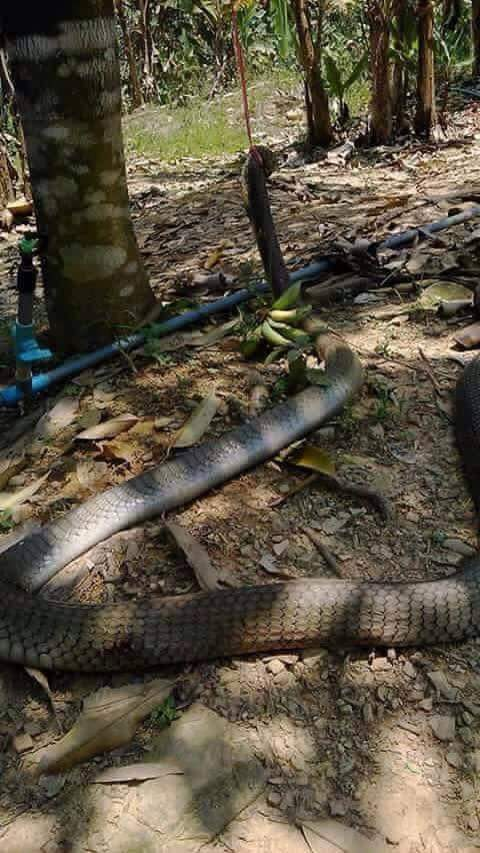 Image of Today, there are two photos circulating on Facebook with caption of King Cobra of the World to said captured in Agusan Del Norte.