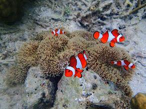 Photo: Amphiprion ocellaris (Ocellaris Clownfish), Chindonan Island, Palawan, Philippines.