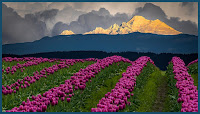 D_G_M_SnyderT_Tulip field and Mt. Baker.JPG