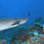 Shark at Castle Rock, Komodo National Park