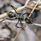 Indian queenless ant