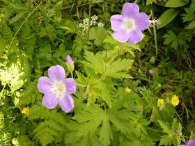 geranium des pres Geranium pratense .JPG