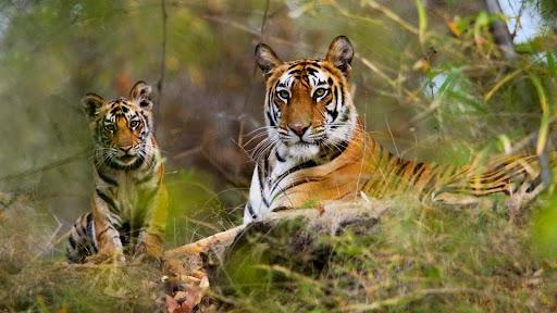 Female Bengal Tiger With Cub, Bandhavgarh National Park, India.jpg