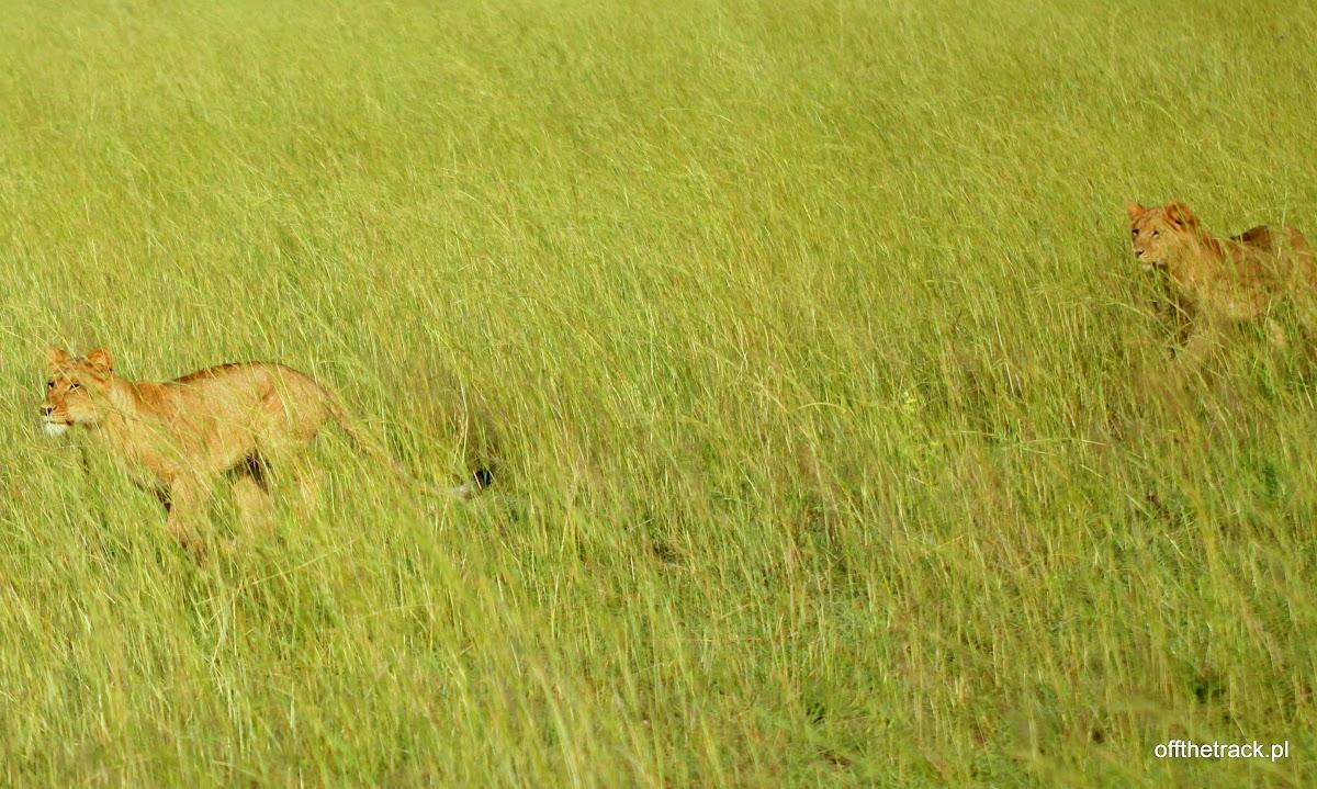 Czające się lwy w trawie na polowaniu, park narodowy Murchison Falls, Uganda